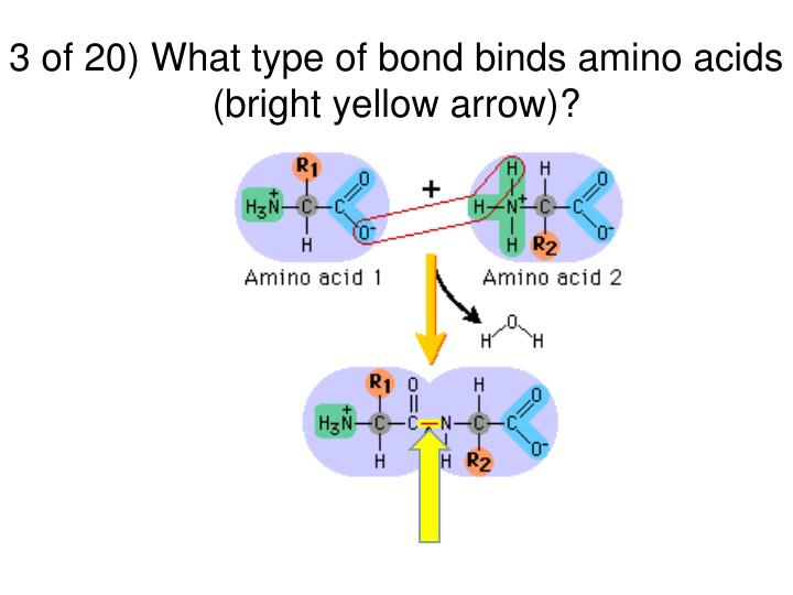 3 of 20) What type of bond binds amino acids (bright yellow arrow)?
