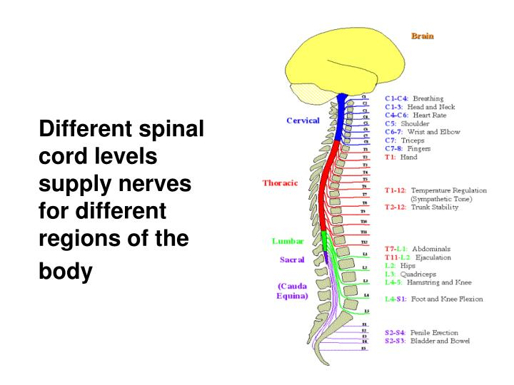 Different spinal cord levels supply nerves for different regions of the
