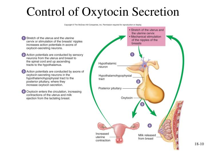 Control of Oxytocin Secretion