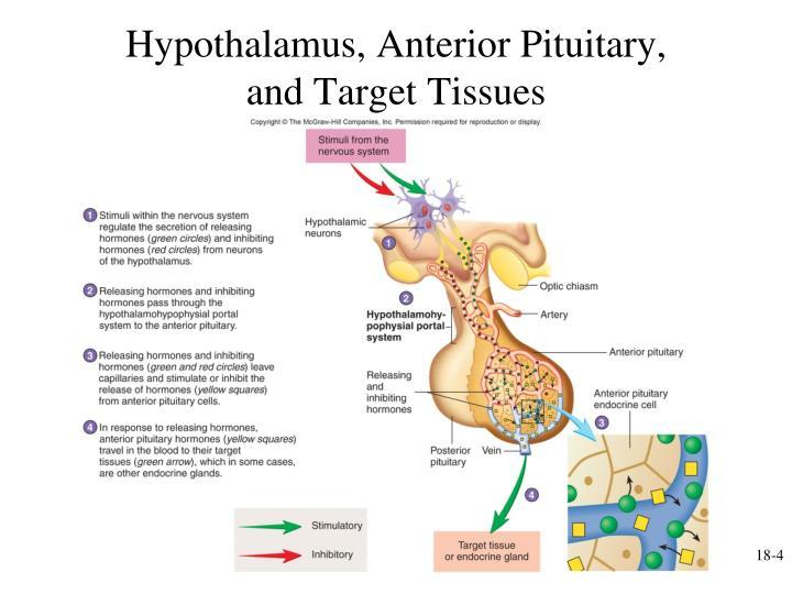 Hypothalamus, Anterior Pituitary,