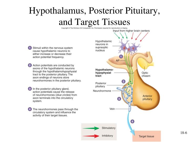 Hypothalamus, Posterior Pituitary,