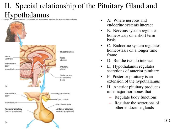Ii special relationship of the pituitary gland and hypothalamus