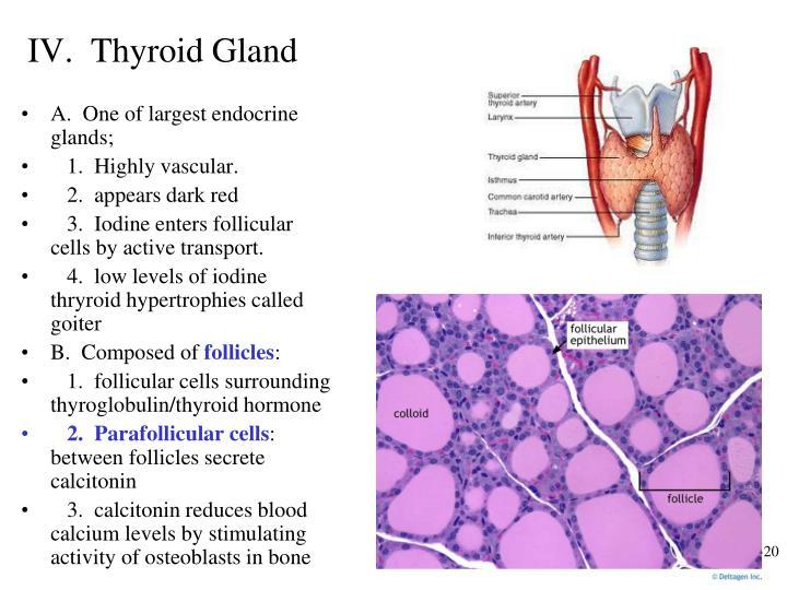 IV.  Thyroid Gland
