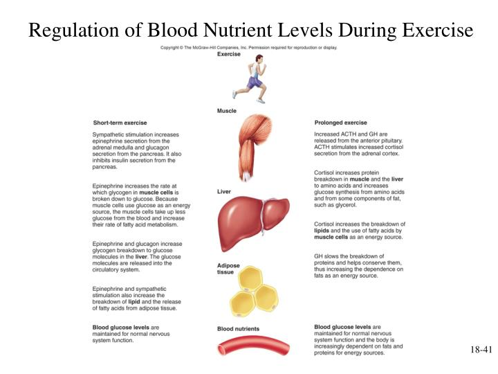 Regulation of Blood Nutrient Levels During Exercise