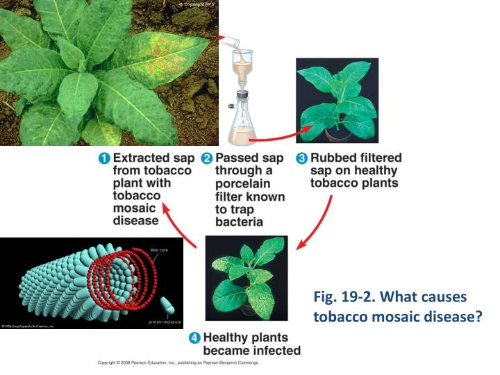 Fig. 19-2. What causes tobacco mosaic disease?