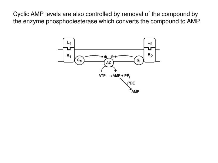 Cyclic AMP levels are also controlled by removal of the compound by the enzyme phosphodiesterase which converts the compound to AMP.