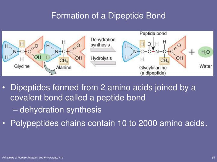 Formation of a Dipeptide Bond