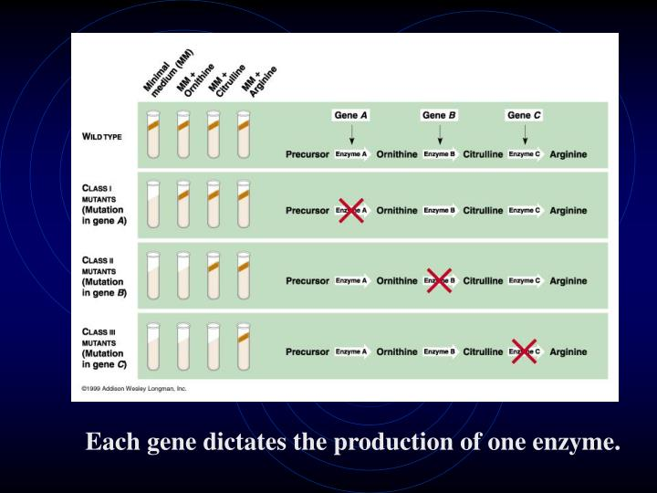 Each gene dictates the production of one enzyme.