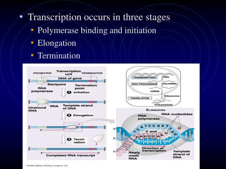 Transcription occurs in three stages
