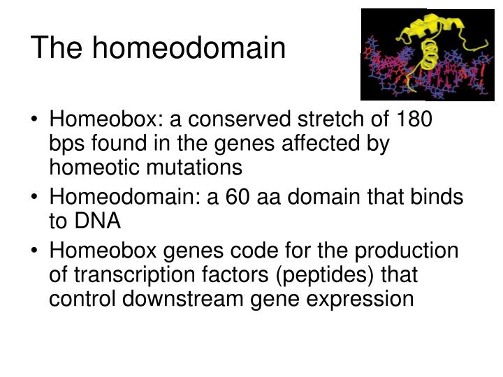 The homeodomain