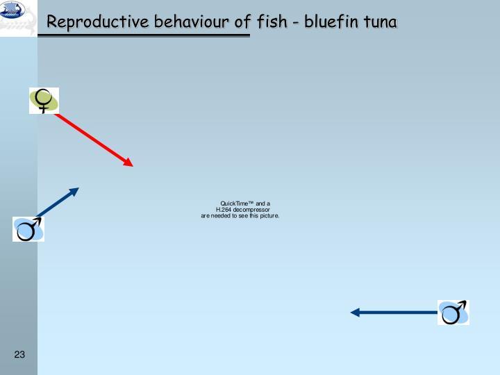 Reproductive behaviour of fish - bluefin tuna