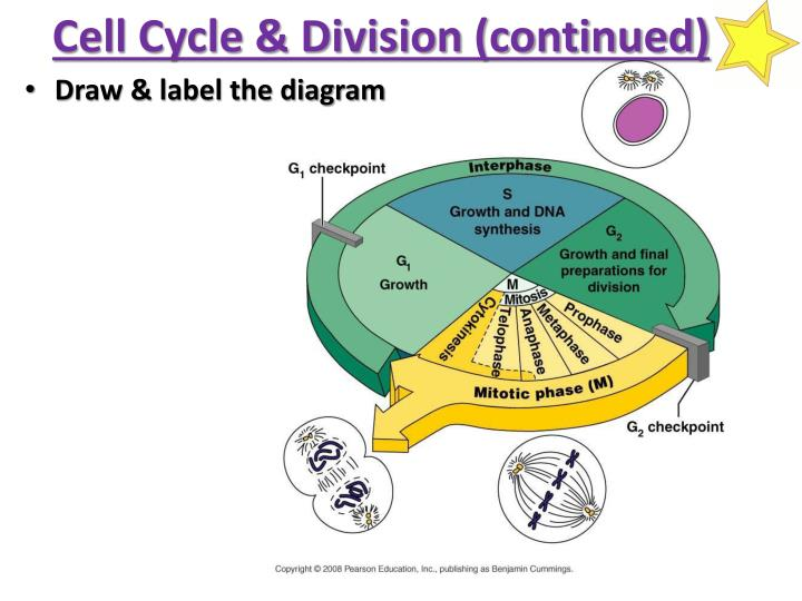 Cell Cycle & Division (continued)