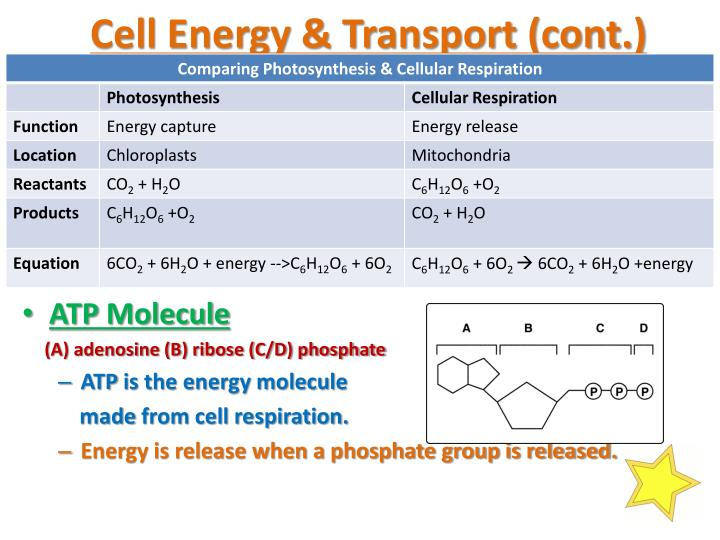 Cell Energy & Transport (cont.)