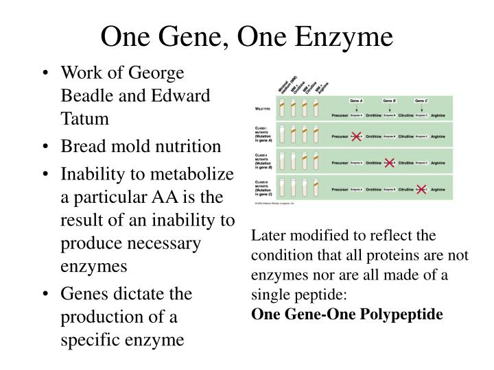 One gene one enzyme