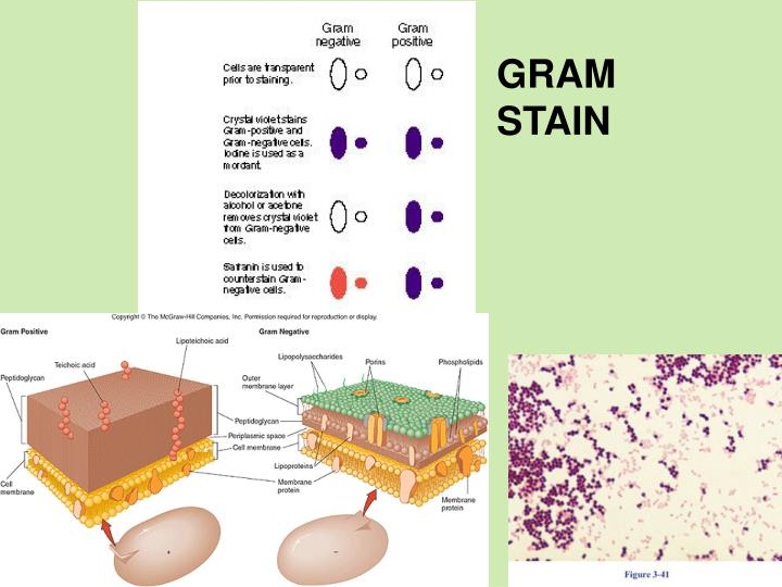 gram negative unknown lab report enterobacter aerogenes It is suggested that culture 11 is a sample of enterobacter aerogenes  gram negative unknown lab report essay  more about essay on micro unknown lab report.