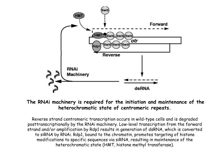 The RNAi machinery is required for the initiation and maintenance of the heterochromatic state of centromeric repeats.
