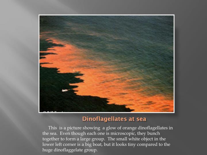 Dinoflagellates at sea