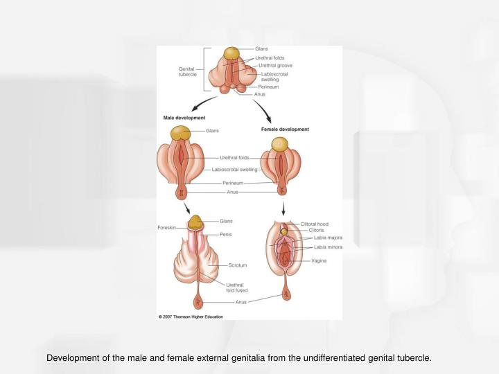 Development of the male and female external genitalia from the undifferentiated genital tubercle.