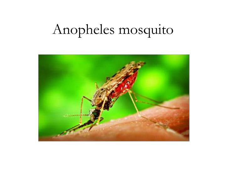 Anopheles mosquito