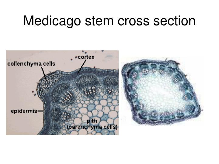 Medicago stem cross section