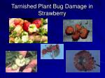 tarnished plant bug damage in strawberry