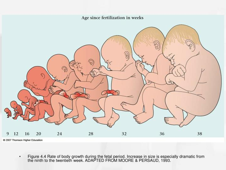 Figure 4.4 Rate of body growth during the fetal period. Increase in size is especially dramatic from the ninth to the twentieth week. ADAPTED FROM MOORE & PERSAUD, 1993.