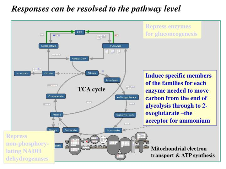 Repress enzymes for gluconeogenesis