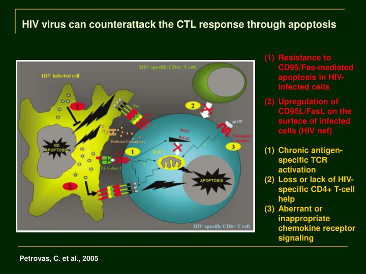 HIV virus can counterattack the CTL response through apoptosis