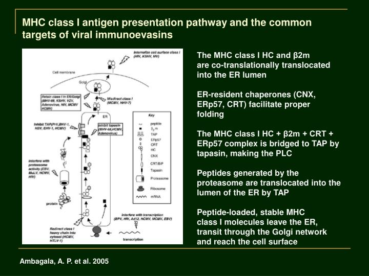 MHC class I antigen presentation pathway and the common targets of viral immunoevasins