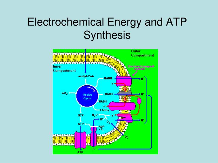 Electrochemical Energy and ATP Synthesis