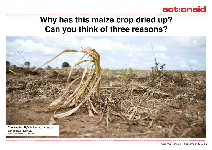 Why has this maize crop dried up can you think of three reasons