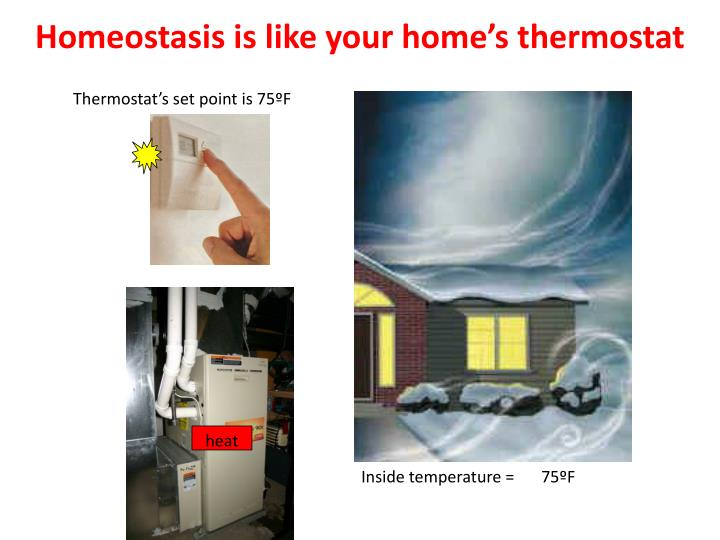 Homeostasis is like your home s thermostat