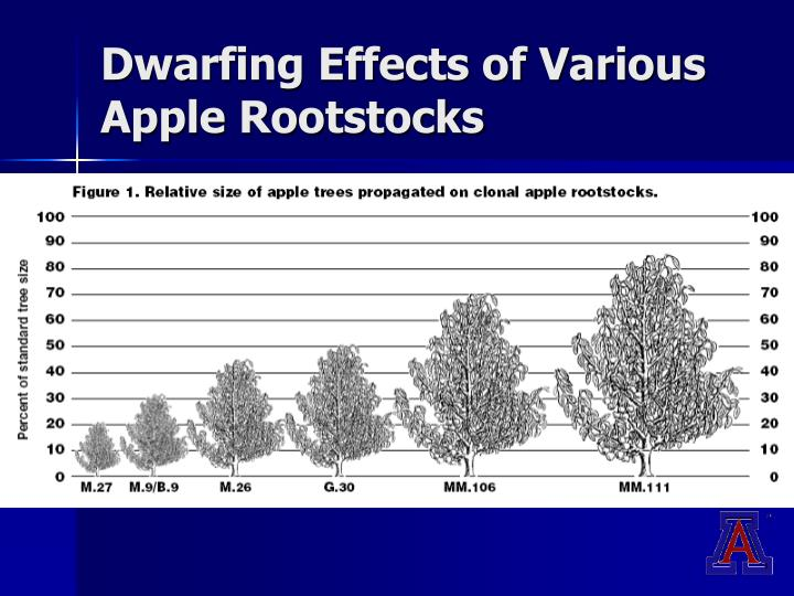 Dwarfing Effects of Various Apple Rootstocks