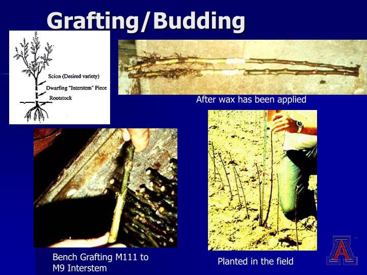 Grafting/Budding