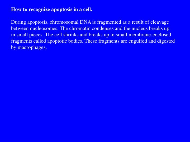 How to recognize apoptosis in a cell.