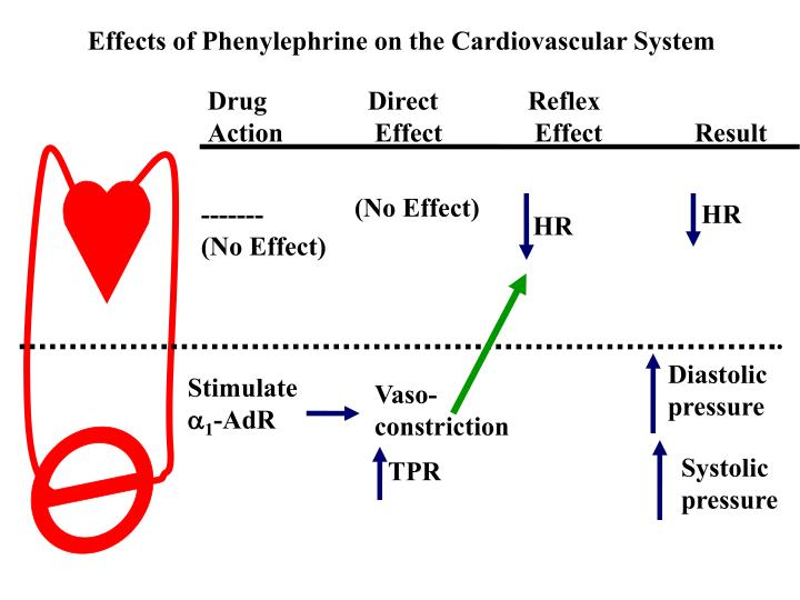 Effects of Phenylephrine on the Cardiovascular System