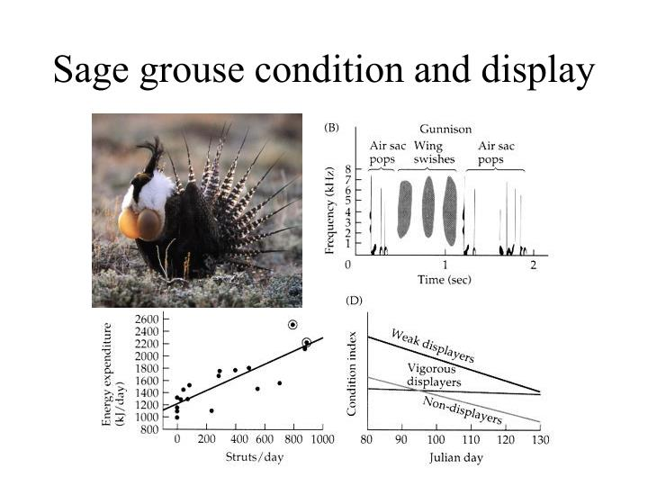 Sage grouse condition and display