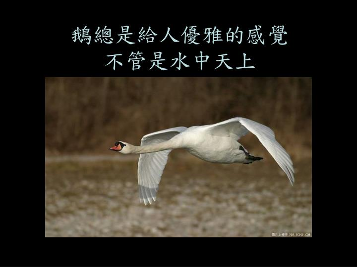 鵝總是給人優雅的感覺