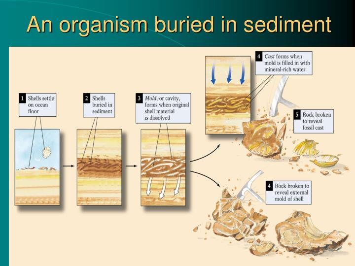 An organism buried in sediment