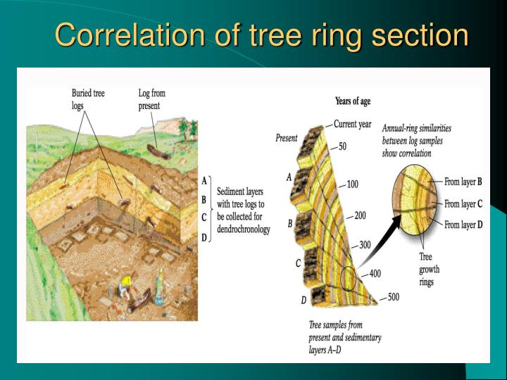Correlation of tree ring section