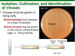 isolation cultivation and identification of viruses