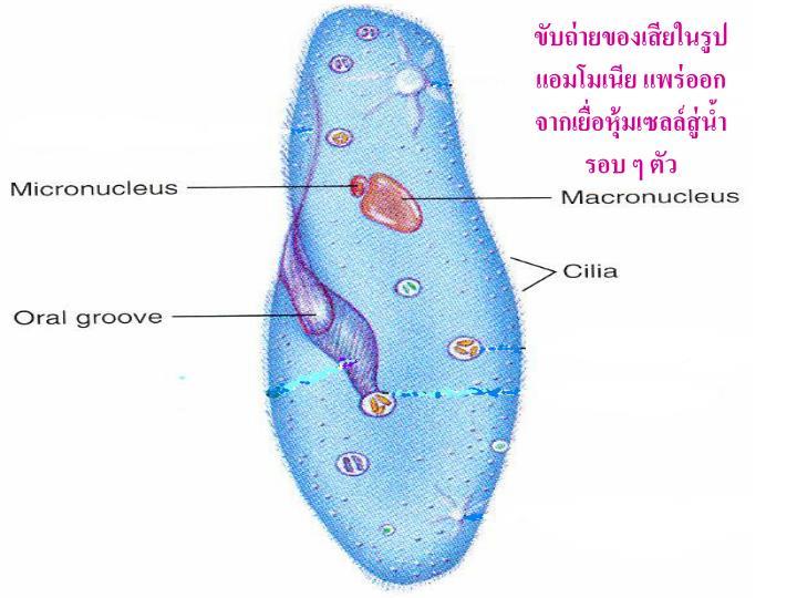 ขับถ่ายของเสียในรูปแอมโมเนีย แพร่ออกจากเยื่อหุ้มเซลล์สู่น้ำรอบ ๆ ตัว