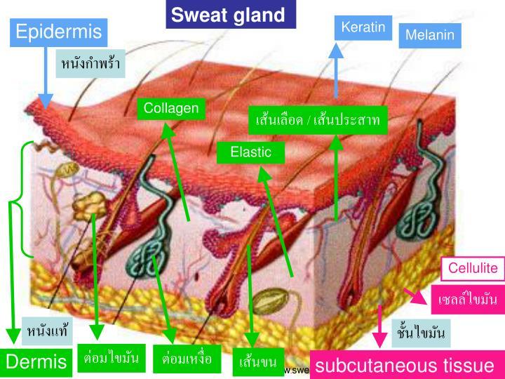 Sweat gland