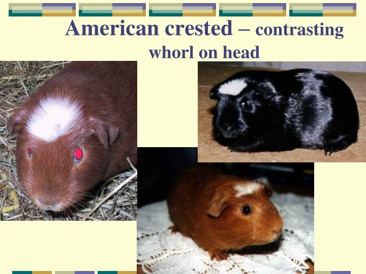 American crested –
