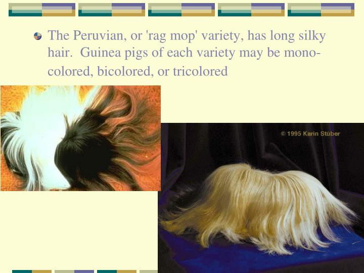The Peruvian, or 'rag mop' variety, has long silky hair.  Guinea pigs of each variety may be mono-colored, bicolored, or tricolored