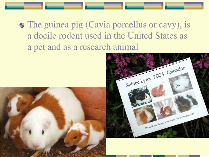 The guinea pig (Cavia porcellus or cavy), is a docile rodent used in the United States as a pet and as a research animal