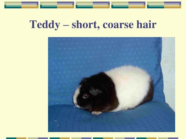 Teddy – short, coarse hair