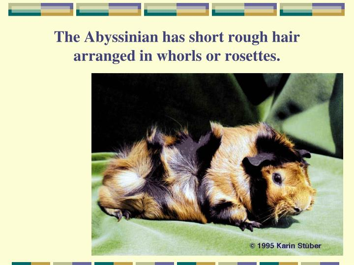The Abyssinian has short rough hair arranged in whorls or rosettes.