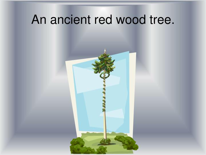 An ancient red wood tree.