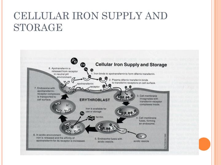 CELLULAR IRON SUPPLY AND STORAGE